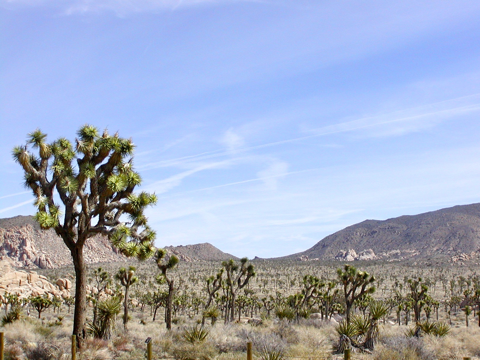 joshua tree wide