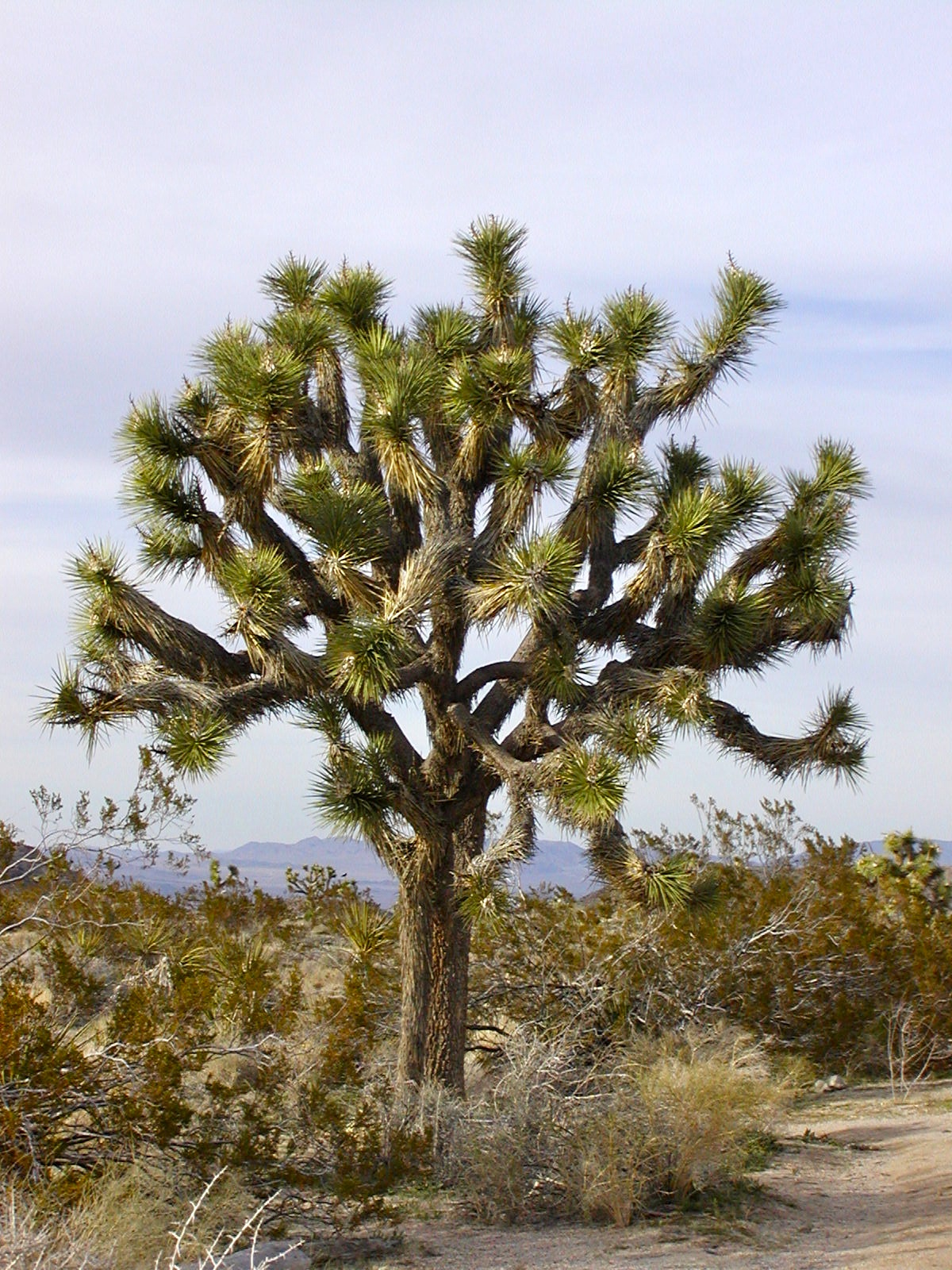 my joshua tree